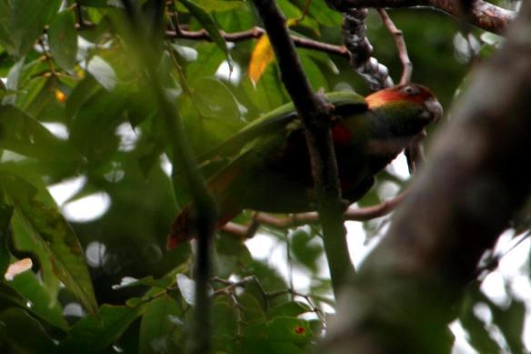 Blue-Throated Parakeet IMG_0978_1