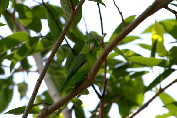 Blue-Winged Parrotlet IMG_6220_1