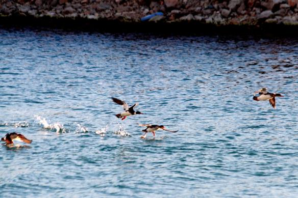 Common Mergansers IMG_7926_1