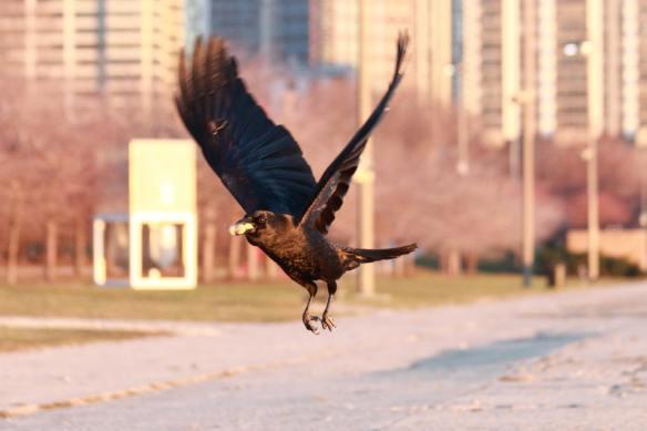 Crow IMG_7859_1