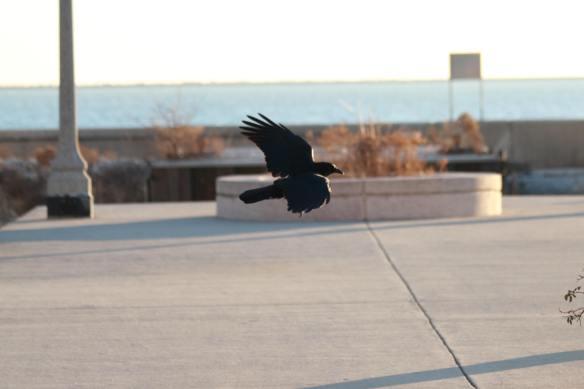 Crow IMG_7906_1