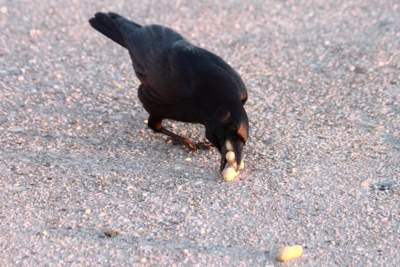 Crow-One More Peanut IMG_7804_1