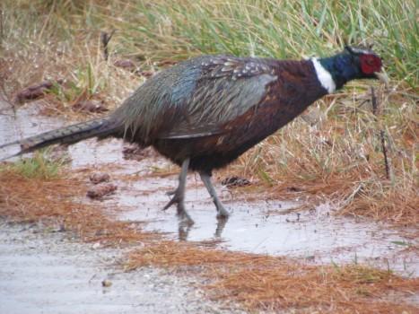 Pheasant IMG_1150
