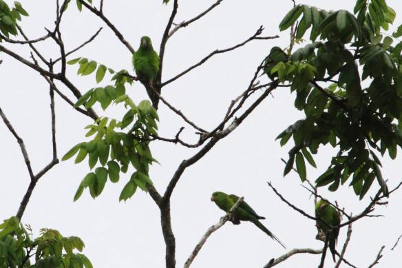 Plain Parakeets IMG_1677_1