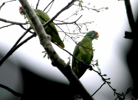 Red-Browed Parrot2 IMG_9073_1