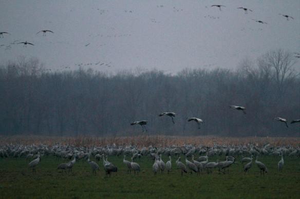 Sandhill Cranes at Jasper-Pulaski IMG_7735_1