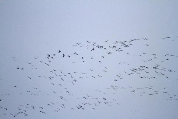 Sandhill Cranes IMG_7717_1