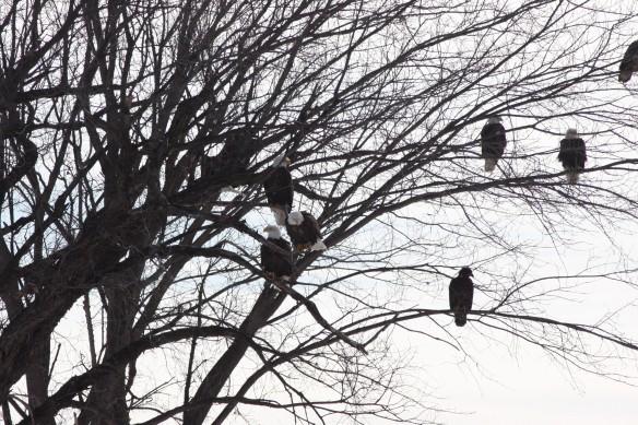Eagles IMG_9612