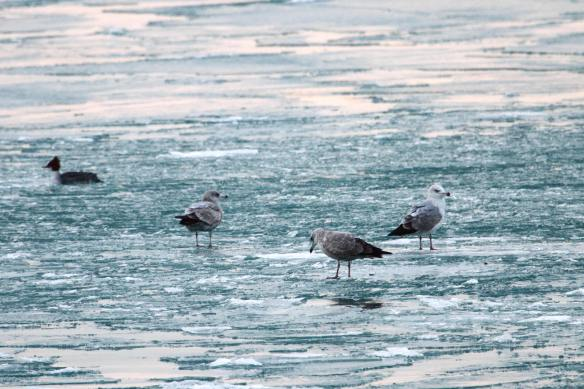Herring Gulls on the Ice IMG_8976_1