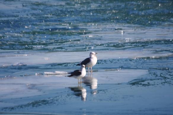 Herring & Ring Billed Gulls IMG_9532_1