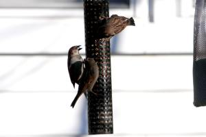 House Sparrows IMG_8491_1