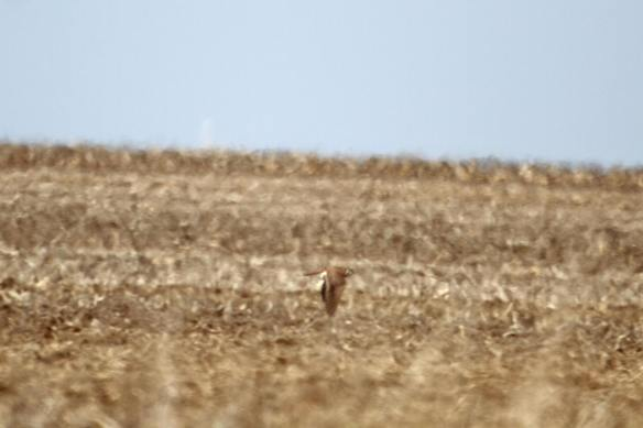 Kestrel Hunting IMG_9321_1