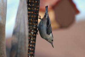 White-Breasted Nuthatch IMG_8609_1