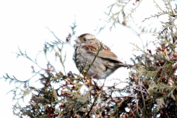 WT Sparrow IMG_9458_1
