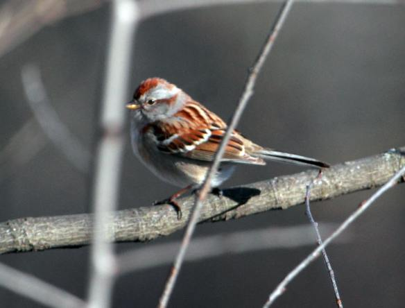 Am Tree Sparrow IMG_1199_1