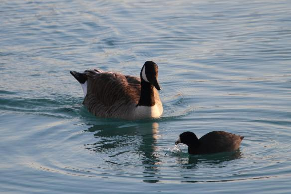 C Goose & Coot IMG_0803_1