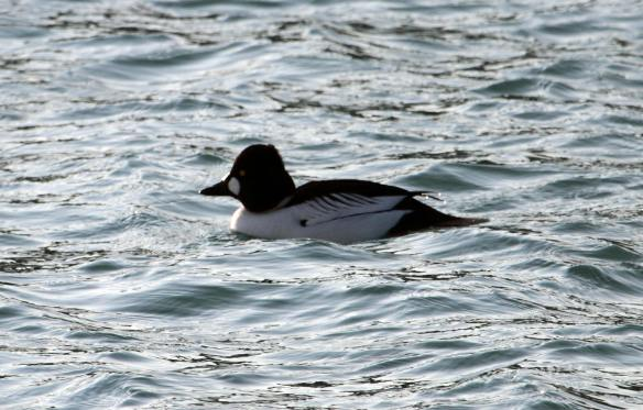Common Goldeneye IMG_0901_1