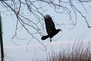 Crow IMG_0150_1