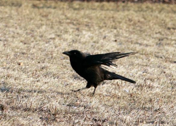 Crow IMG_0831_1
