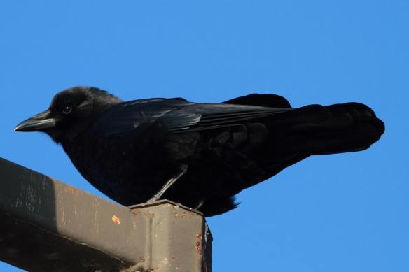 Crow IMG_0921_1