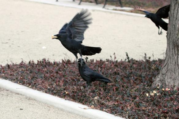 Crows IMG_0753_1