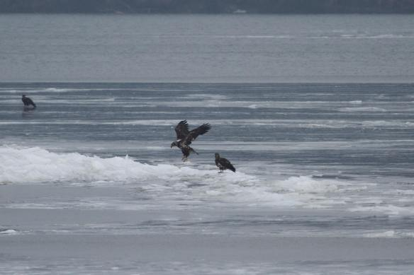 Juvenile Bald Eagles on the ice