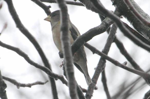 Evening Grosbeak IMG_9804_1