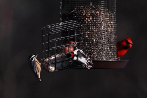 Feeder Birds IMG_1229_1