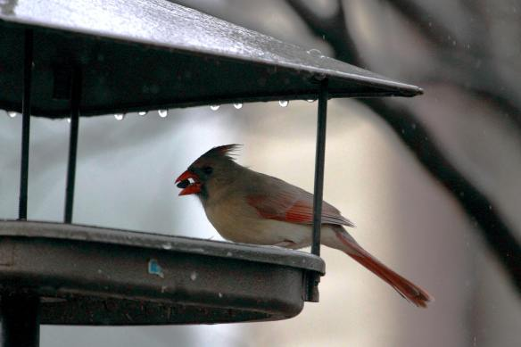 Female Cardinal IMG_9597_1