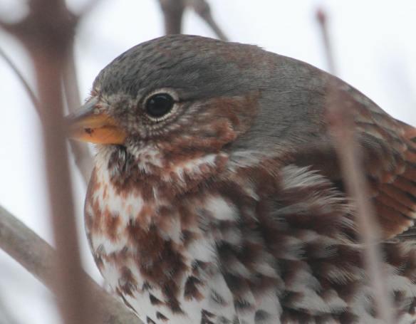 Fox Sparrow IMG_1580_1