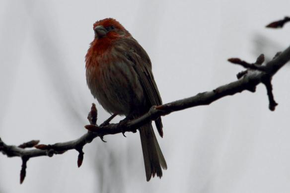 House Finch IMG_9548_1