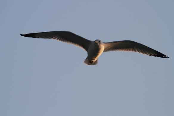 Ring-Billed Gull IMG_0784_1