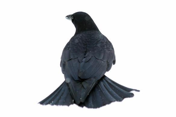 Snow Crow IMG_0041_1