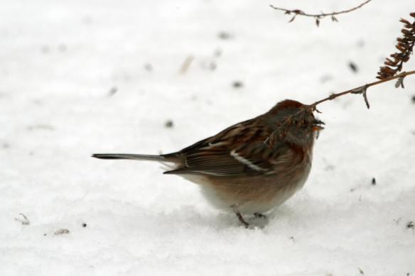 Tree Sparrow IMG_0034_1