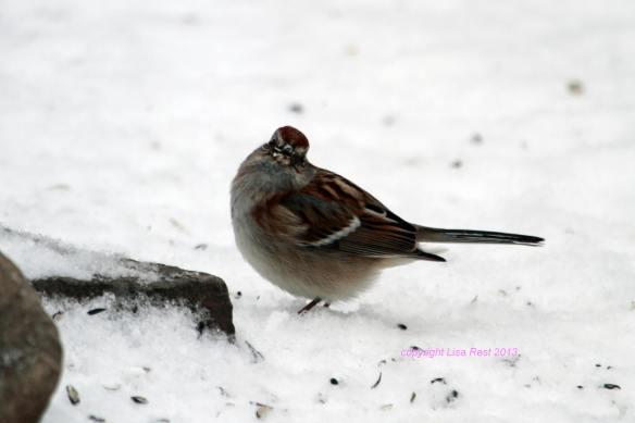 Tree Sparrow IMG_9981_1
