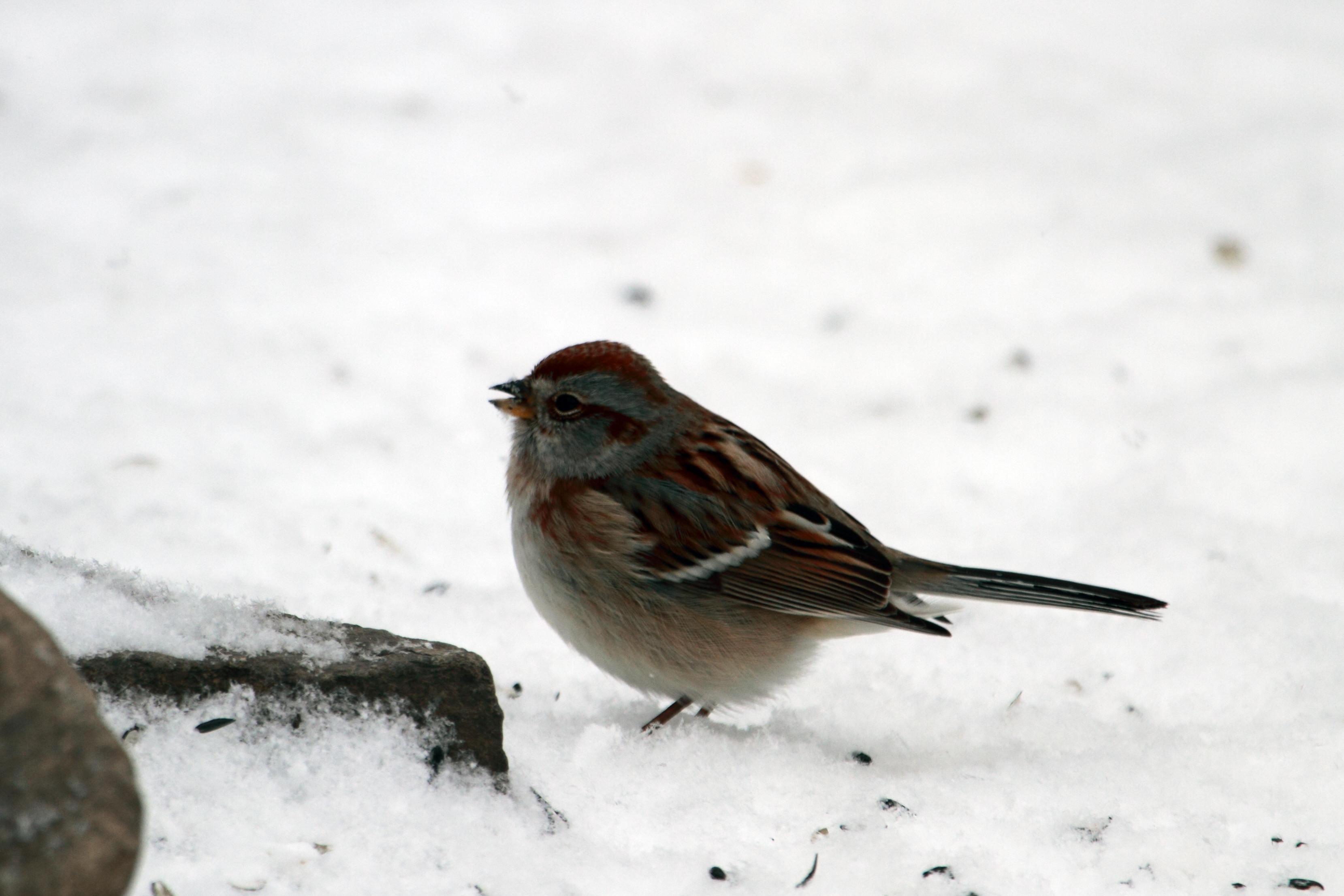Tree Sparrow IMG_9983_1