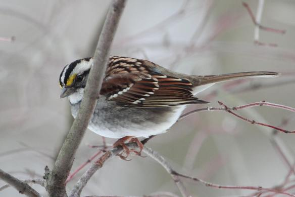 White-Throated Sparrow IMG_1617_1