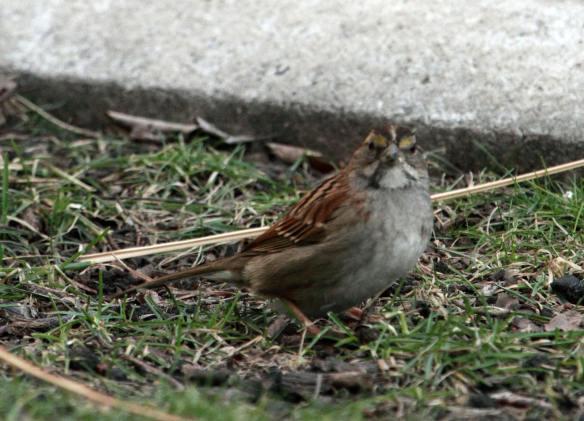 WT Sparrow IMG_0938_1