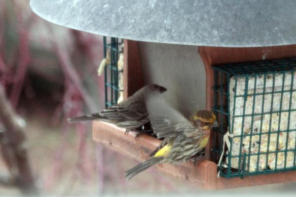 Yellow House Finch IMG_1035_1