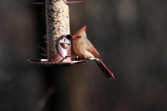 Cardinal IMG_1279_1