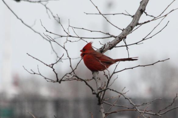 Cardinal IMG_1292_1