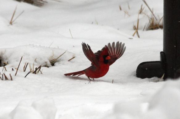Cardinal IMG_1537_1