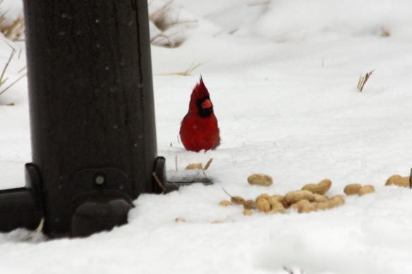 Cardinal IMG_1563_1