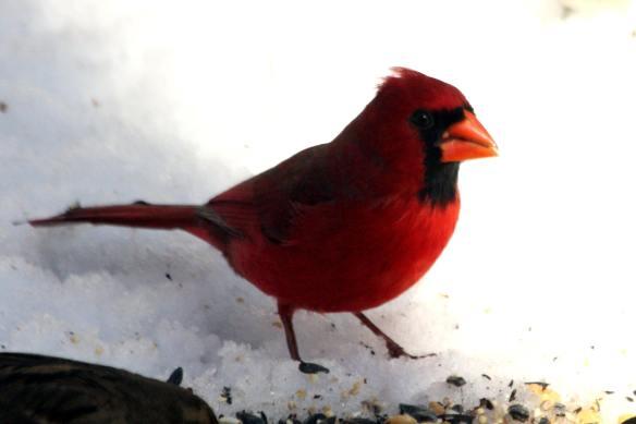 Cardinal IMG_2151_1