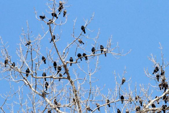 Cowbirds in a Bare Tree IMG_1931_1