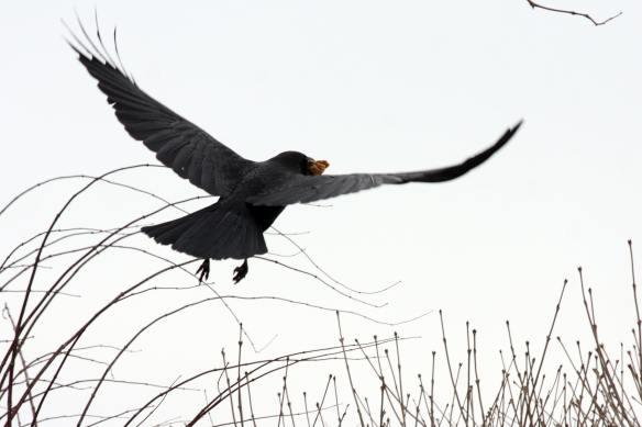 Crow IMG_1950_1