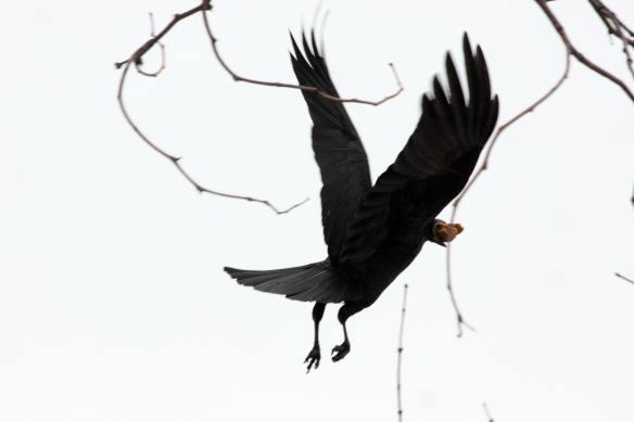 Crow IMG_1951_1