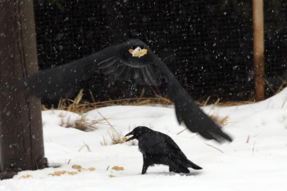 Crow with Cookie & Peanut IMG_1584_1