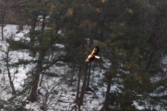 Eagle IMG_1768_1