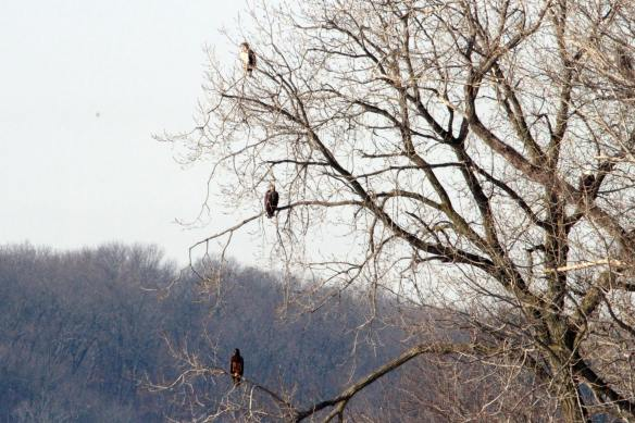 Bald Eagles, three plumages
